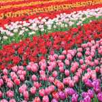 STYLEAT30 Travel + Fashion Blog - Keukenhof Gardens and Tulip Fields Tour from Amsterdam - Holland Tulips - 15