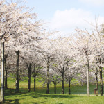 STYLEAT30 Travel Blog - Copenhagen Sakura Festival - Cherry Blossoms Denmark - 12